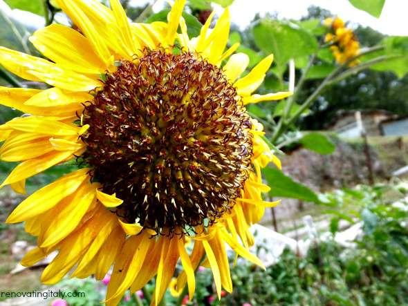 orto sunflower