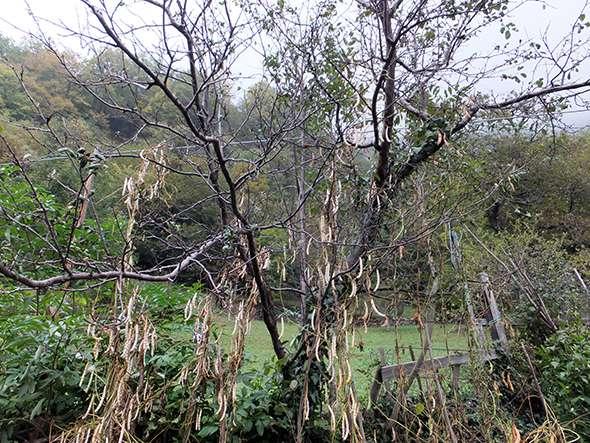 orto fagiole tree